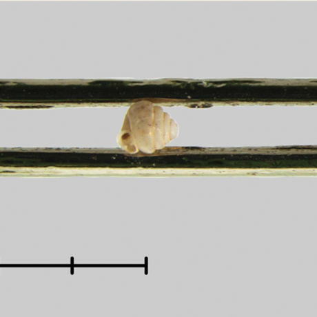 A microsnail in the eye of a needle, B. Páll-Gergely and N. Szpisjak