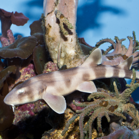 Brownbanded bamboo shark pup in coral lagoon