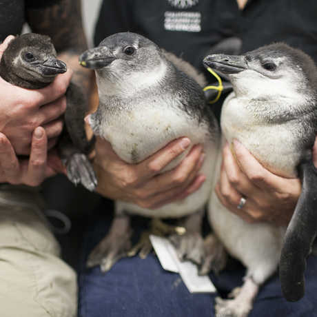Three penguin chicks with biologists