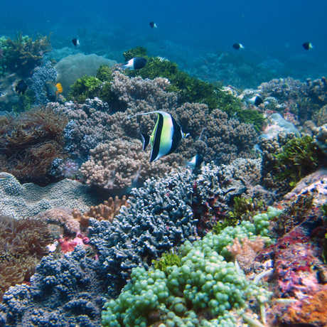 Dazzlingly colorful coral reef scene with moorish idol fish front and center, Zanzibar