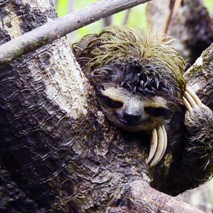 Photo of pygmy sloth