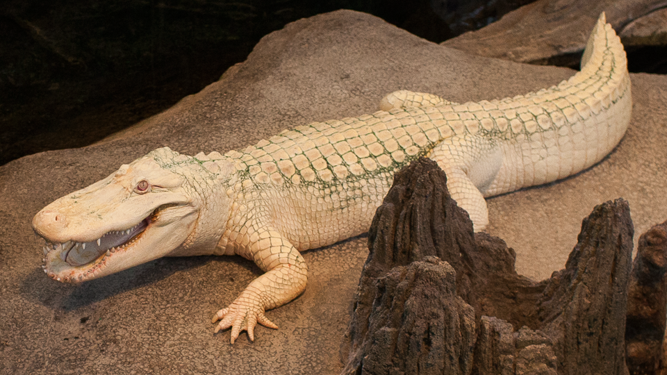 Albino Alligator with mouth open