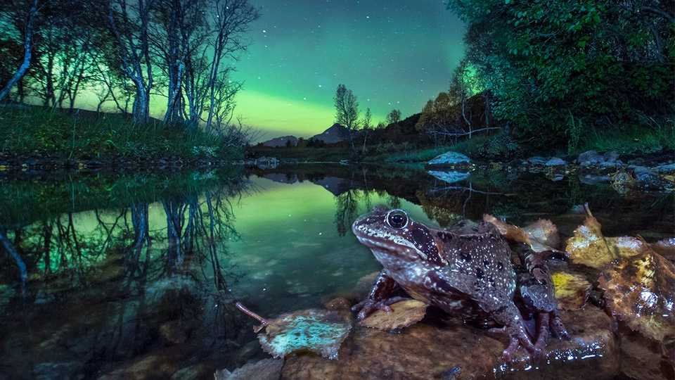 AUTUMN FROG IN NORTHERN LIGHT