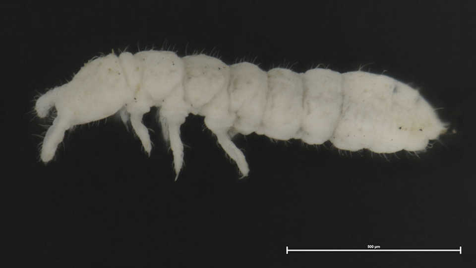 Long View Study No. 35 (Antarctica's Hardy Collembola)