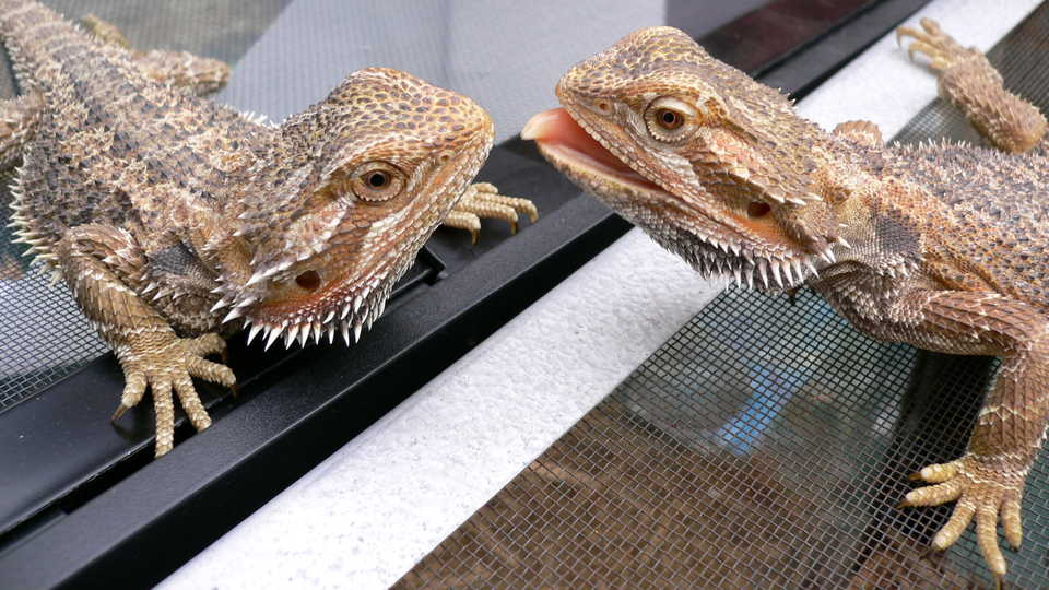 Sex Changing Reptiles Adapt To Warmer Temperatures