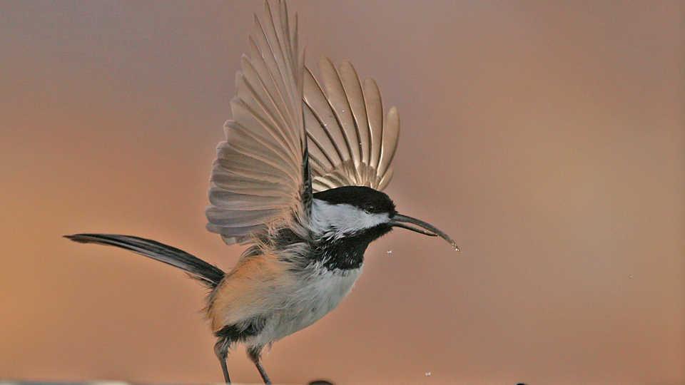 Black-capped chickadee, John Hohl