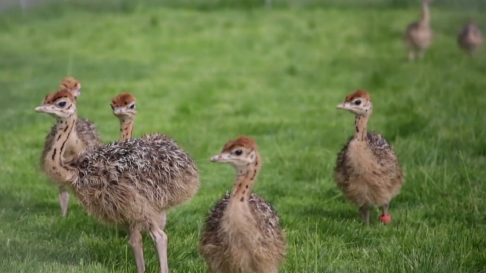 Photo of ostriches