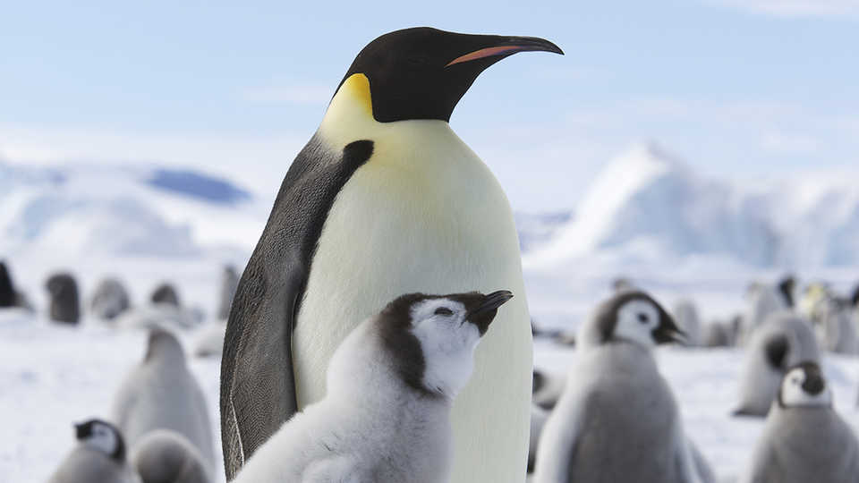 Emperor Penguin with Young