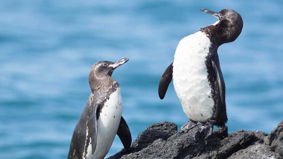fun fact about penguins