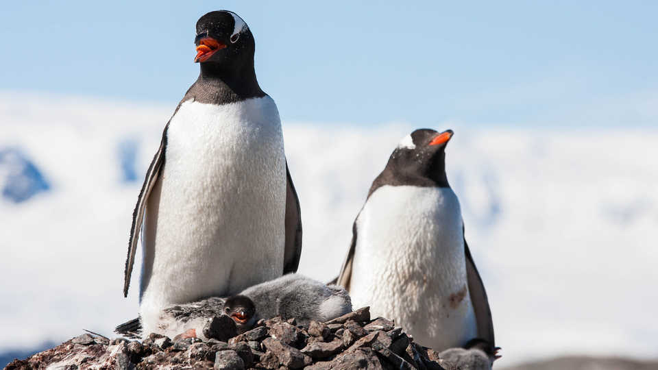 Photo of gentoo penguins