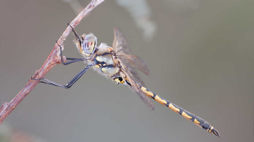 Hemicordulia tau dragonfly by : JJ Harrison