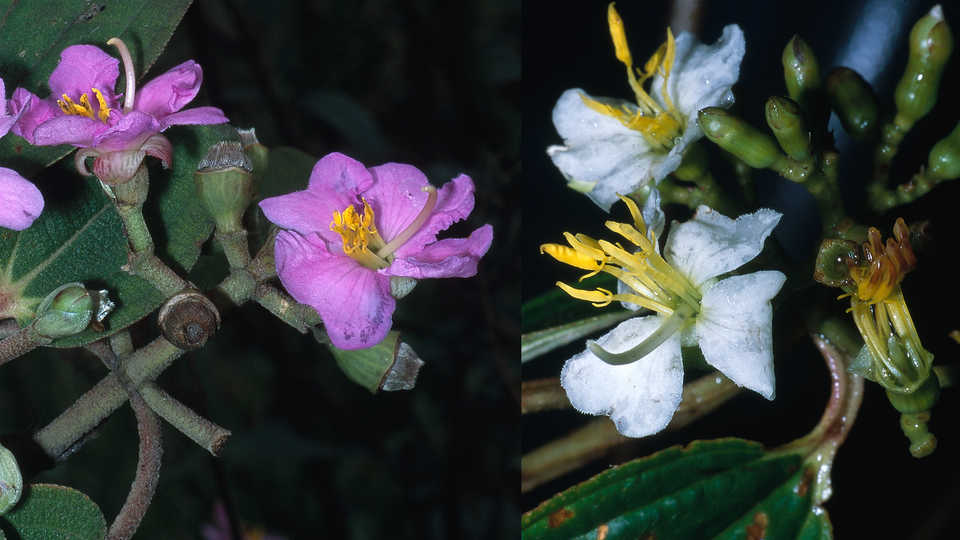 Dionycha bojeri and Amphorocalyx multiflorus