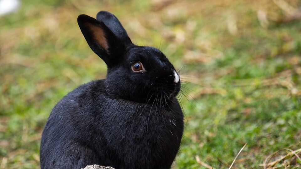 Black bunny at the Oakland Zoo.