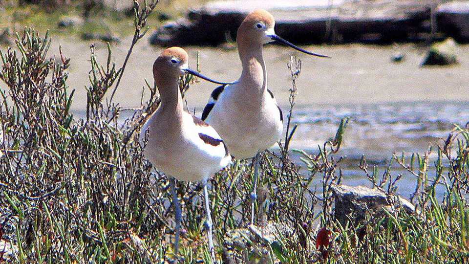 American Avocets at Pier 94 in San Francisco