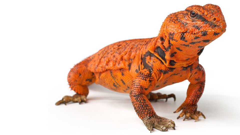 Brightly colored orange and black lizard.