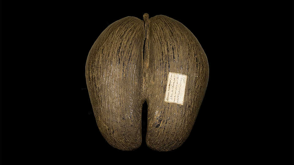 Coco de Mer By Didier Descouens (Own work) [CC-BY-SA-3.0 (http://creativecommons.org/licenses/by-sa/3.0)], via Wikimedia Commons