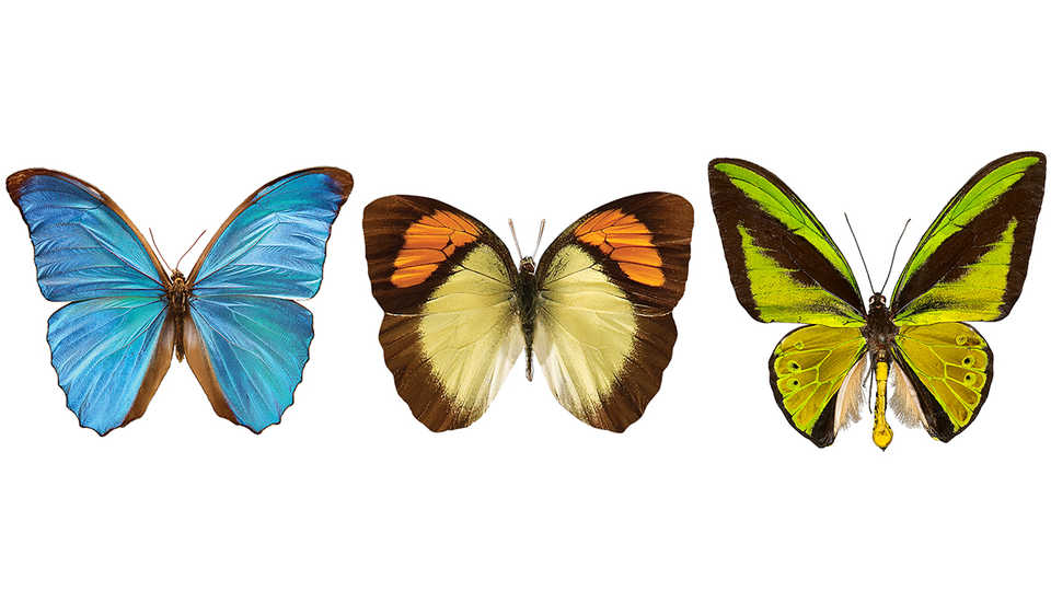 A three butterfly banner