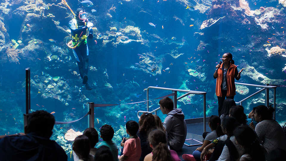 A scuba diver in the Philippine Coral Reef Exhibit during a daily dive show.