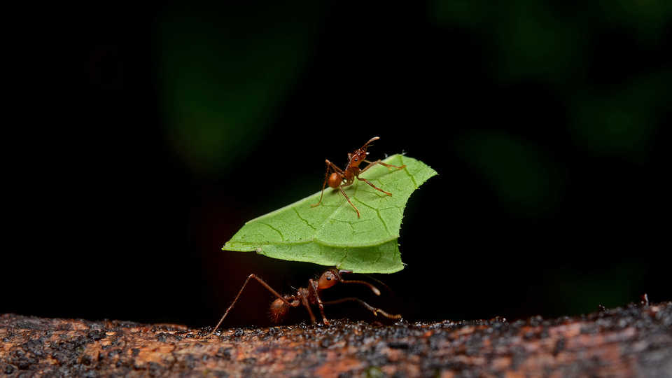 Image of leaf cutter ants.