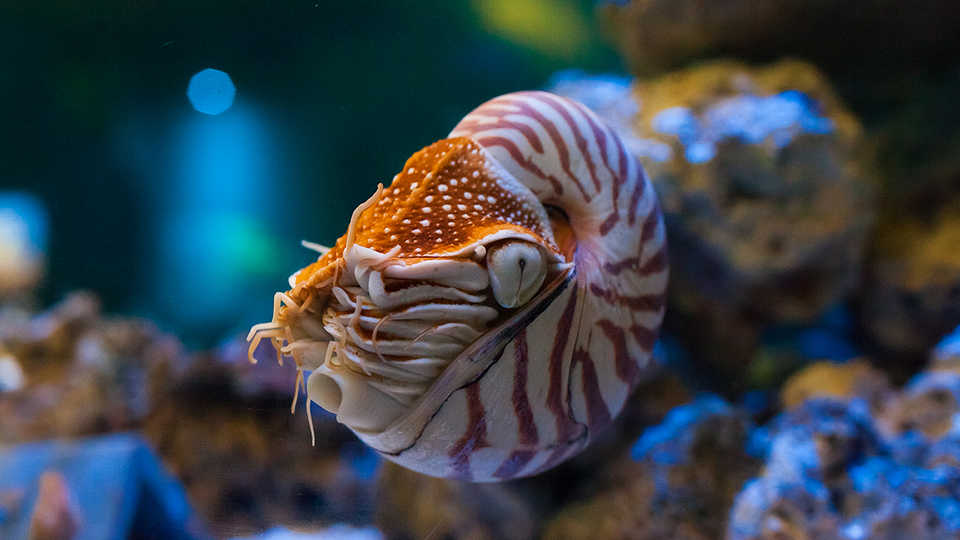 Chambered Nautilus California Academy Of Sciences