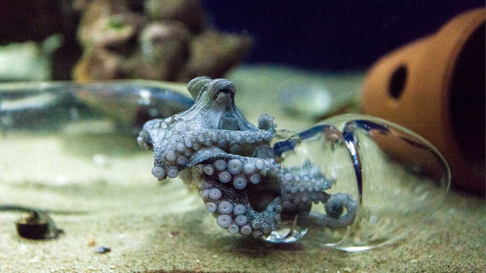 Larger Pacific Striped Octopus