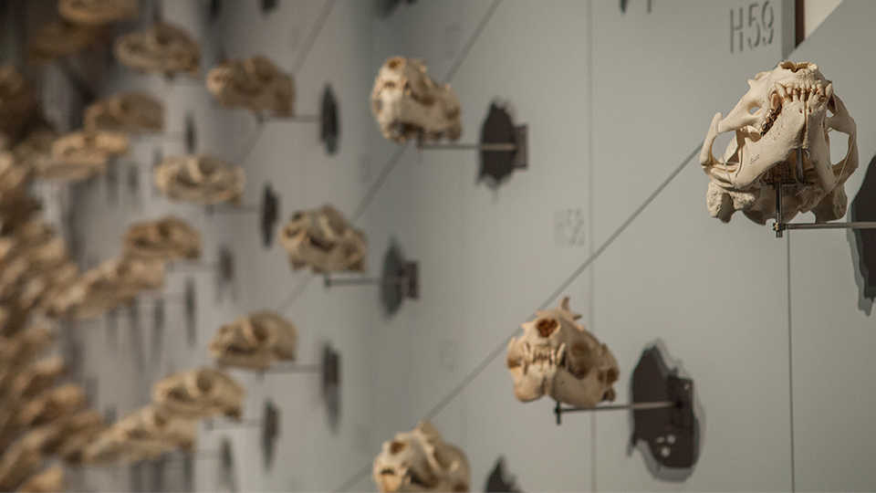 """Sweeping view of the 400 sea lion skulls adorning the 90-foot-long """"Sea of Skulls"""" wall."""
