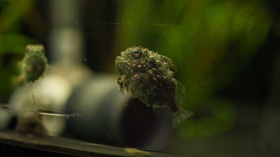 Pacific spiny lumpsuckers
