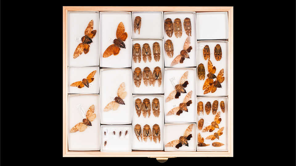 A tray containing a collection of winged insect specimens.