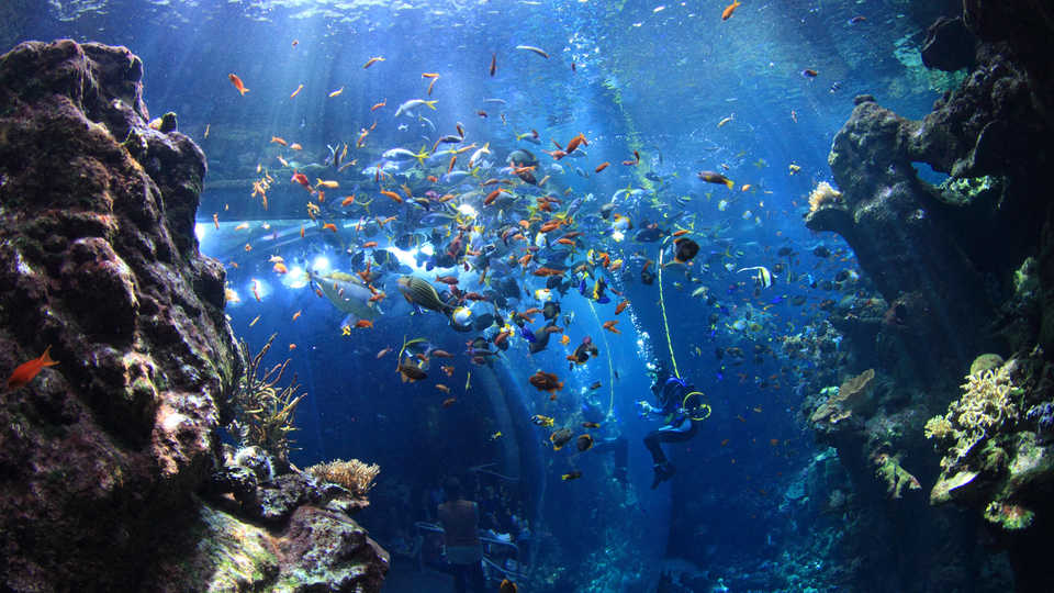 Photo of a diver in the Academy's Philippine Coral Reef exhibit