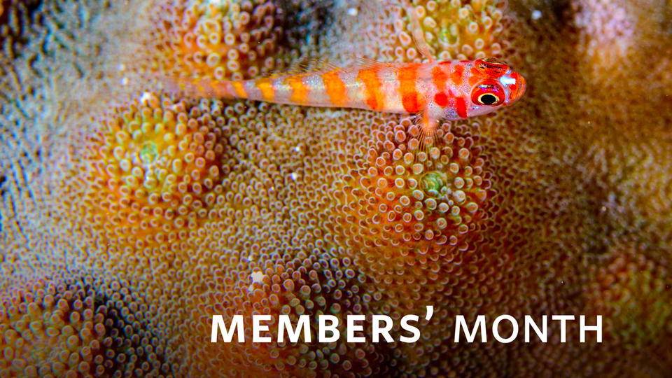 An orange and red striped fish rests atop a coral colony