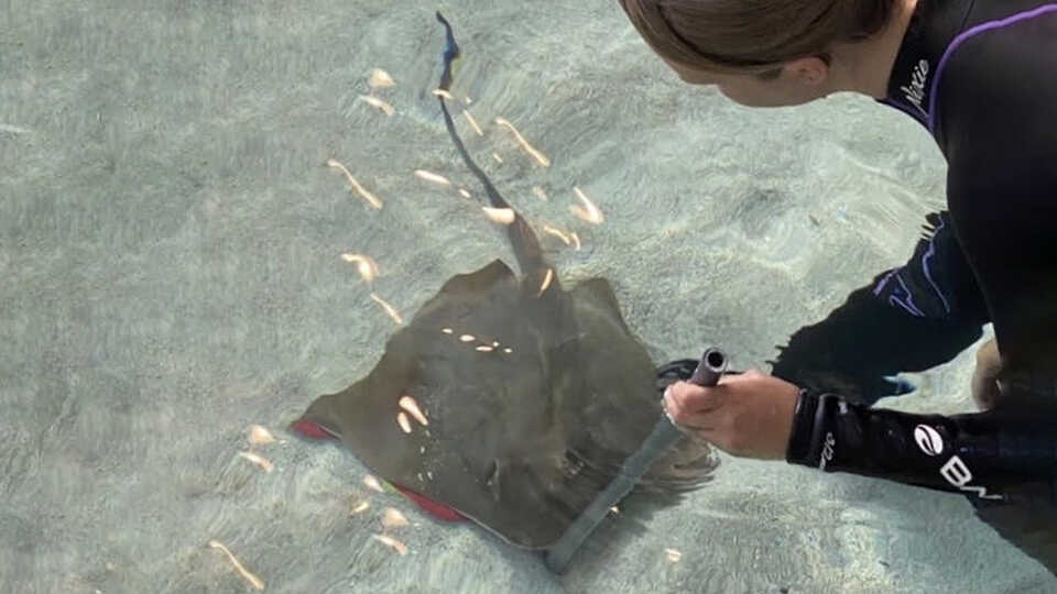 Academy biologist uses feeding stick to reward blue-spotted ray