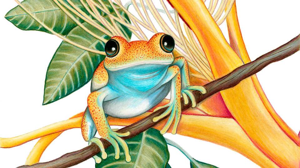 Illustration of Green Bright-Eyed Frog, Boophis viridis by Rachel Diaz-Bastin