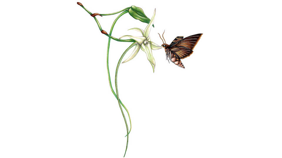 Illustration of a Darwin's Hawkmoth