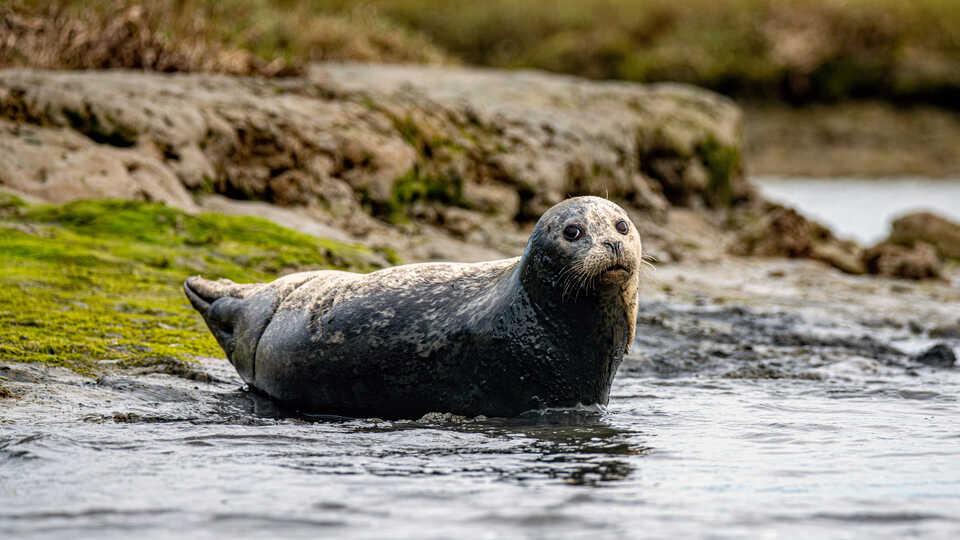 Harbor seal resting onshore at Elkhorn Slough