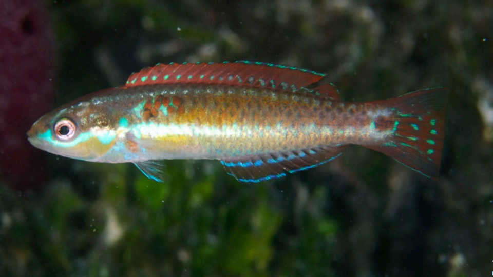 Halichoeres sociales, the Social Wrasse