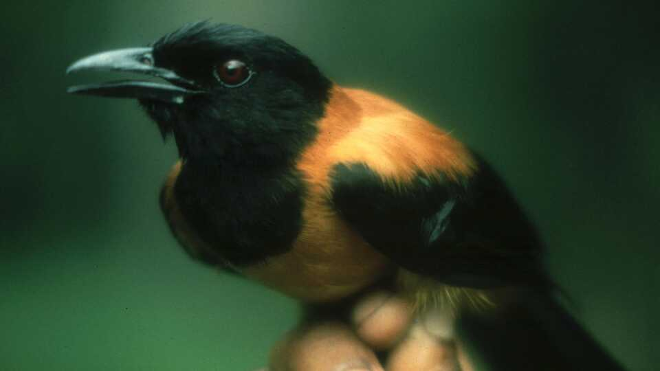 Image result for pitohui bird