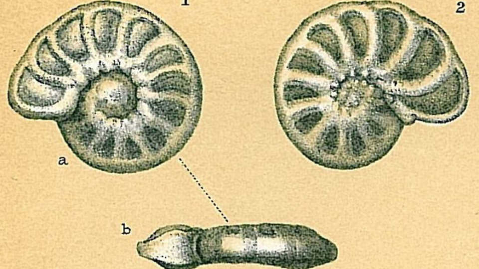 Hyalinea balthica illustration