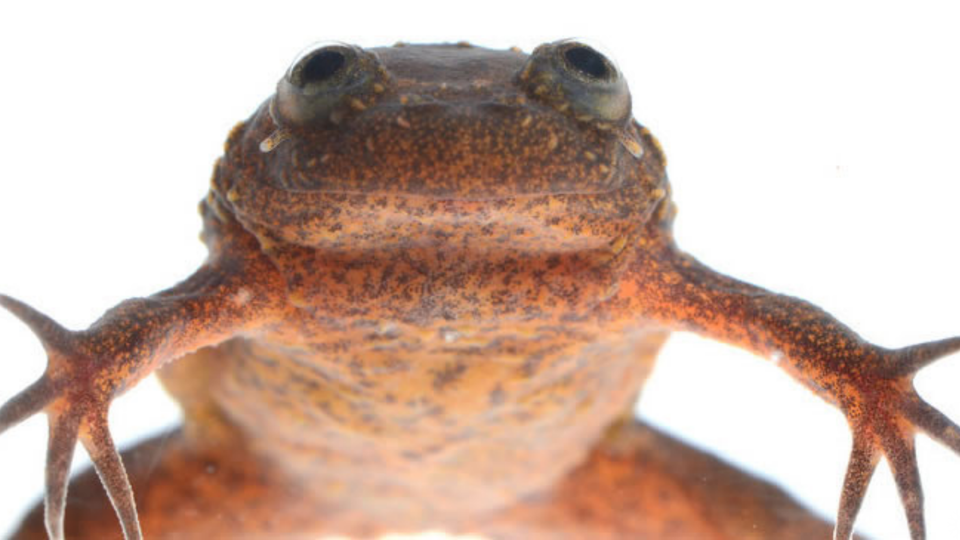 Endangered Lake Oku clawed frog from Cameroon expedition