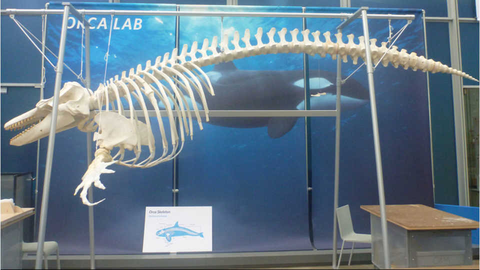 Orca O319 on display at the California Academy of Sciences