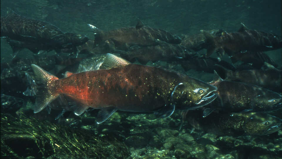 photo of salmon
