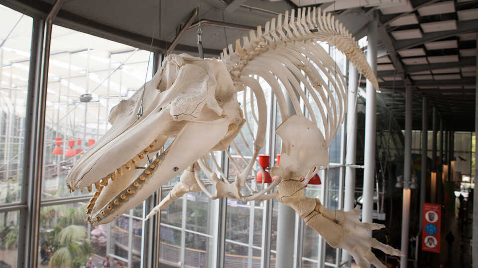 Photo of the complete skeleton of Orca O319, which hangs from the ceiling of the Academy today.