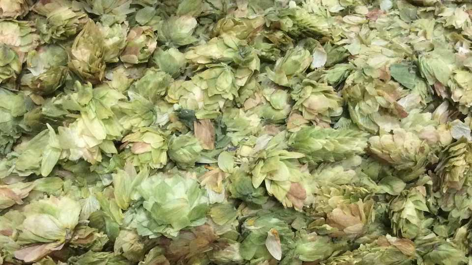 Hops - very important to the beer making process
