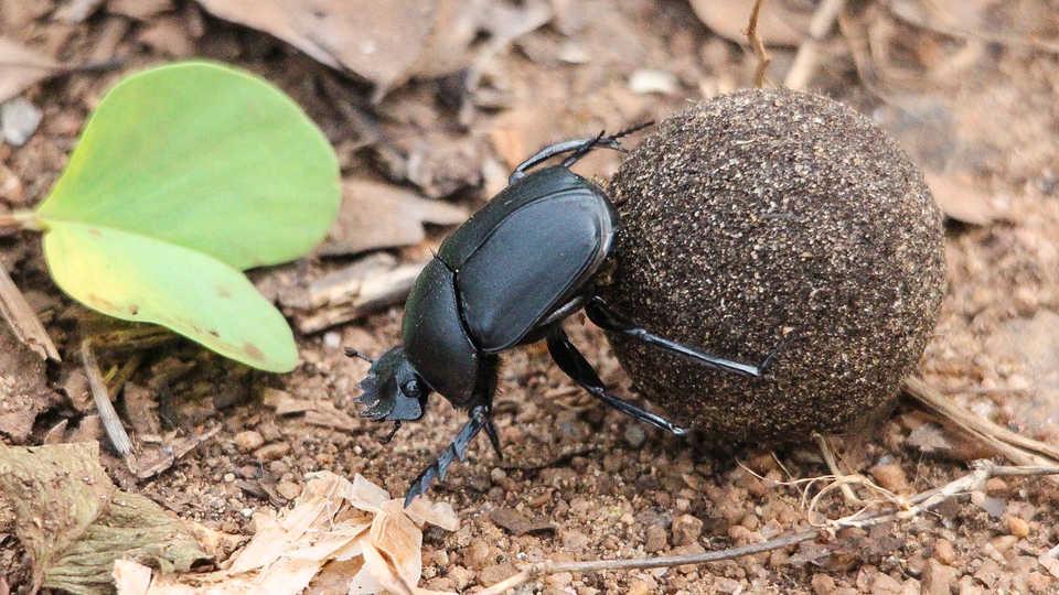 Dung Beetle, Sri Lanka, by Peter van der Sluijs