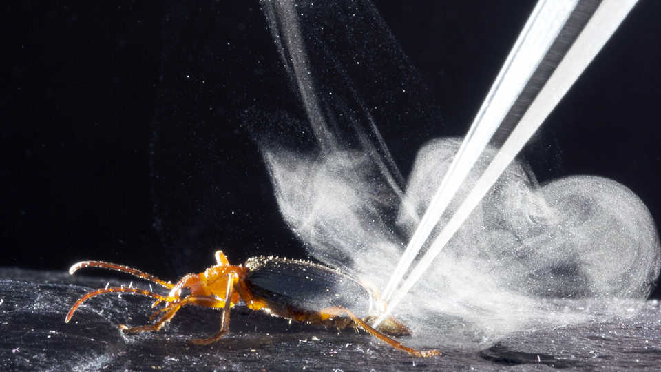 Bombardier beetle blast