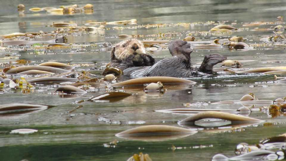 Otter in a kelp field, Alaska, photo by Doug Knuth