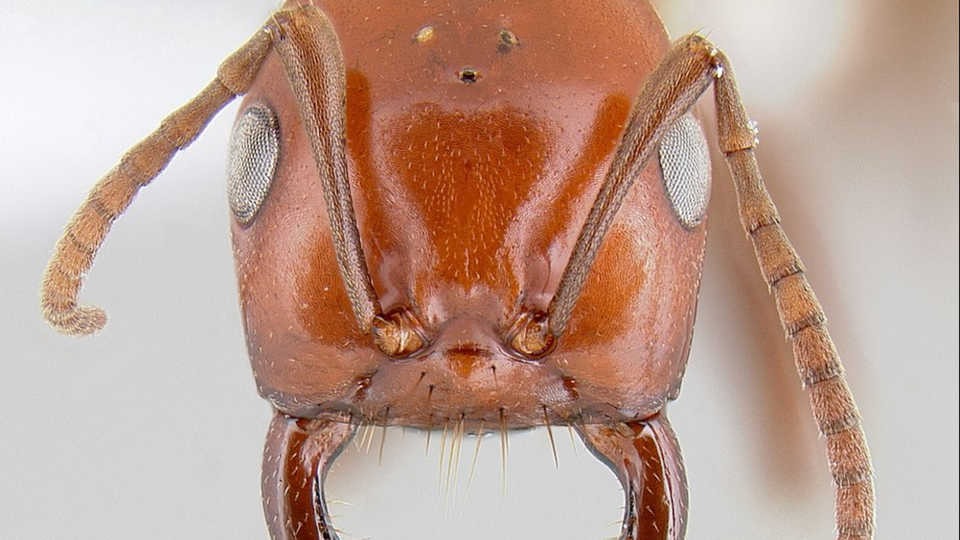 The parasitic Polygerus: Michael Branstetter/AntWeb