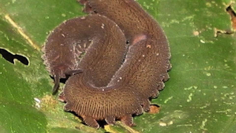 Velvet Worm (Onychophora) from the Amazon Rain Forest in Peru