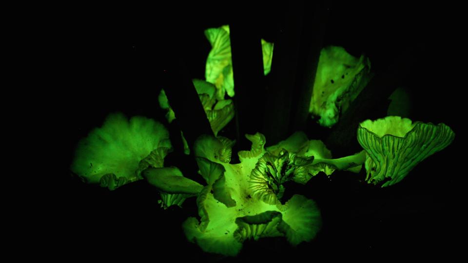 Glowing flor de coco mushroom
