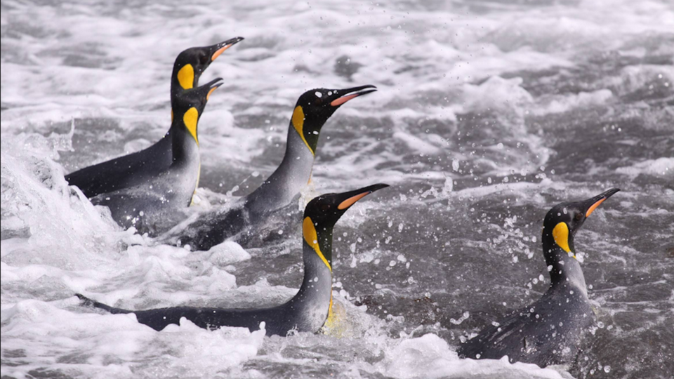 King penguins back from the foraging trip Credit: T. Powolny