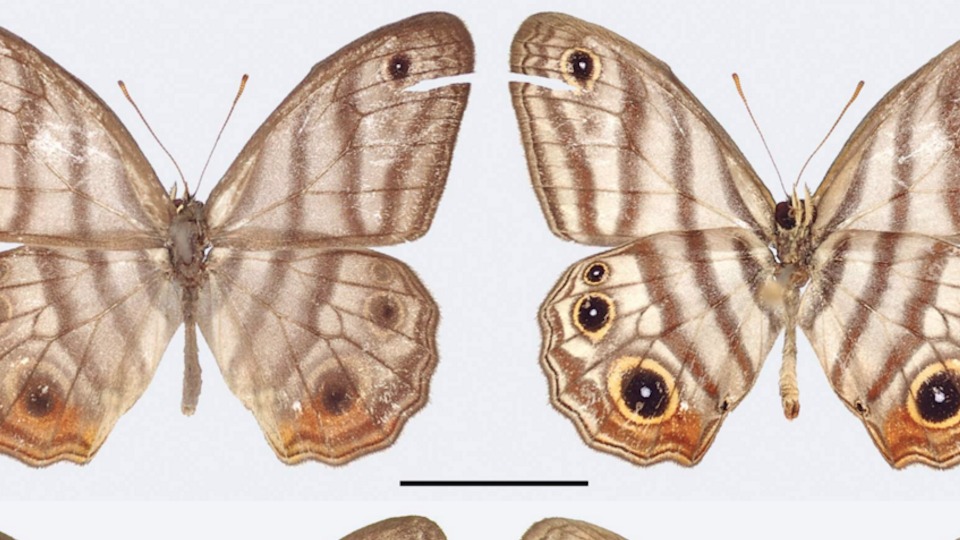 Attenborough Butterfly, Andrew Neild, Trustees of the Natural History Museum, London